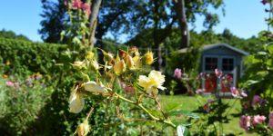 """Rosen im Garten der Ferienwohnung """"Zum alten Pfau"""" im Ostseebad Göhren auf der Insel Rügen an der Ostsee"""