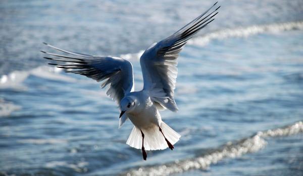 Möwe landet am Strand vom Ostseebad Göhren auf der Insel Rügen