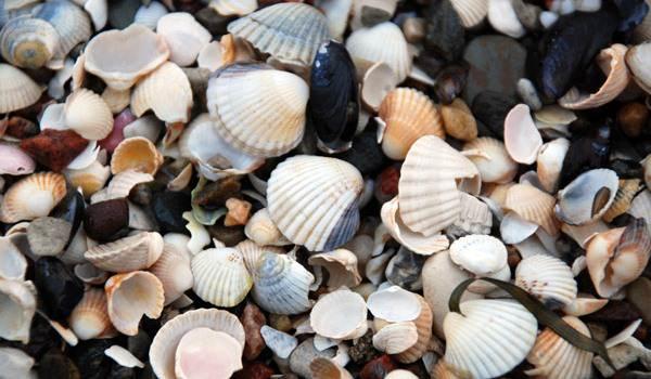 Muscheln am Strand vom Ostseebad Göhren auf Rügen